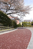 桜, オリンピック記念青少年総合センター