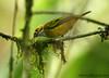 Sillver-throated Tanager (Michael Woodruff) Tags: bird birds ecuador birding 2007 tanager tangara tangaraicterocephala nwecuador milpe milpebirdsanctuary sillverthroatedtanager sillverthroated