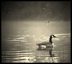 Misty Lake (andrewlee1967) Tags: uk england lake misty mono geese bravo andrewlee abigfave canon400d andrewlee1967 anawesomeshot superbmasterpiece andrewle1967 andylee1967 focusman5