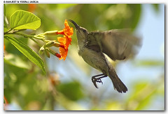 female sunbird in flight (wildlens) Tags: wild india colour bird nature birds horizontal asian nikon asia natural wildlife indian  colourful avian gujarat jadeja 70300g manjeet nikonstunninggallery impressedbeauty superaplus aplusphoto superhearts yograj manjeetyograjjadeja