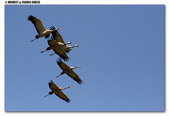 cranes flying in formation (wildlens) Tags:  jadeja manjeet yograj manjeetyograjjadeja