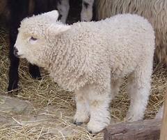 ahhh (Laura Edwards) Tags: lamb baa marwell