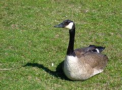 keeping a watchful eye (phool 4  XC) Tags: ontario rural spring seasons goose gander  phool4xcnetphotos phool4xc