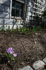 crocus by window
