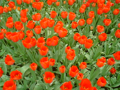Red tulips, Amsterdam (Hippychick01) Tags: flowers amsterdam zoo tulips artlegacy theperfectphotographer awesomeblossoms