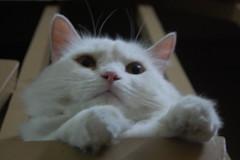 KWITTIE BOY (halfwhiteboy) Tags: pet cats pets cute animals digital cat nikon feline kitty dslr housecat pinoy pilipinas pusa d40 supershot nikondslr wowphilippines bluelist abigfave supershots kissablekat nikond40 impressedbeauty aplusphoto kwittieboy bibedoggie