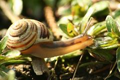 Another snail (SpUtNik 23 -RUR und MKZ) Tags: macro canon eos 350d belgium belgique snail escargot hainaut souvret