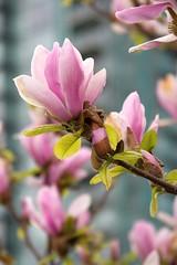 Magnolias (mezzoblue) Tags: spring falsecreek magnolia pinkflowers