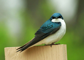 My very first Tree Swallow shot!!!!