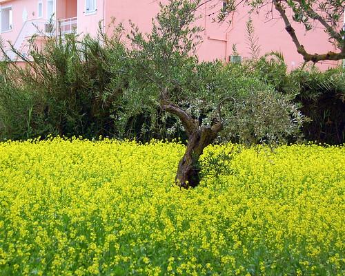 Olive Tree in a Rape Field