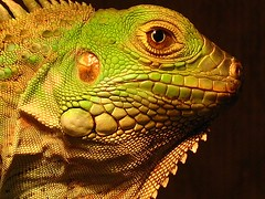 His good side (ET Photo Home!) Tags: green reptile lizard iguana thor naturesfinest specanimal