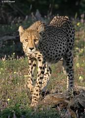 Walking Cheetah (scotch196) Tags: africa nature wildlife bigcat cheetah predator