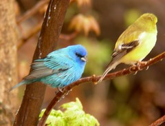 Indigo Bunting and Goldfinch