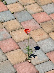 Help! (perplesso42) Tags: flowers help poppy lonely fiori picturesque amapola papavero saveearth