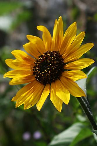 May Sunflower