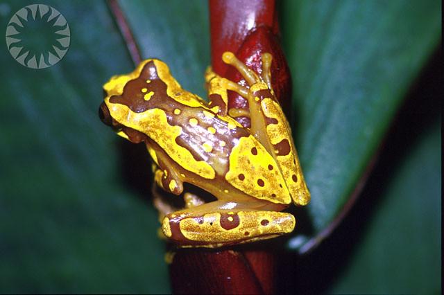 Frog rana dorada panama