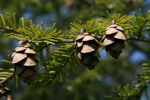 cones on eastern hemlock (Tsuga canadensis)