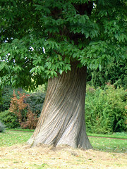 Treebeard (KirscheTortschen) Tags: uk tree green solidarity bark trunk conference colleagues nationaltrust twisty treebeard hurrah newfurniture newlaptop newcarpet newspace fairness shugboroughhall abigfave impressedbeauty wishingmyfriendsagoodweek