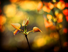 sunlight and springtime (-stacey-) Tags: leaves morninglight 72 fauxlomo picturethecure2007 bokehwhores springbutitlooksabitlikeautumn fridayvacationday bokehwhoresweek04finalist wwwstaceykinkaidcom