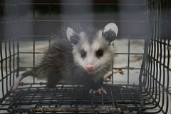 The World's Best Photos of opossum and possums - Flickr Hive