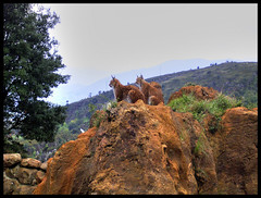 Linces (DeFerrol) Tags: wildlife animalplanet lynx cantabria lince cabarceno