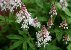 Foamflower (MaureenShaughnessy) Tags: pink plants green nature garden soft earth blossoms delicate botany shady botanica groundcover shadegarden tiarella foamflower bpotd ubcbgbotanyphotooftheday