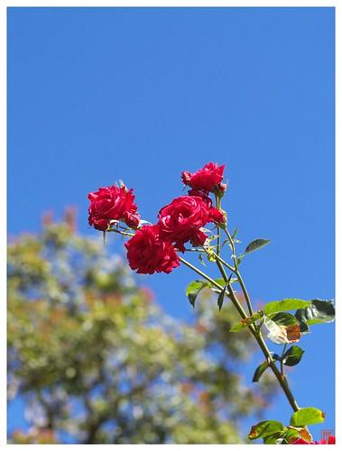 Rose 070520 #01