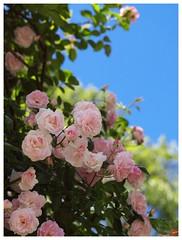 Rose 070520 #04