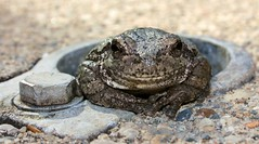 Charmed (SolsticeSol) Tags: cute smile funny hole michigan cement frog bolt treefrog princecharming frogmacro cuteimage frogsmiling easterngraytreefrog funnyimage froghands wisefrog frogstaring frogfingers frogposing charmingfrog smilemakingimage froginhole frogstare frogsmile