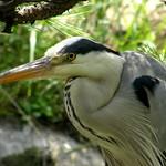 #4135 grey heron (アオサギ), fine zoom thumbnail