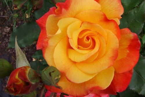 Rio Samba Rose