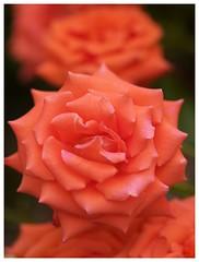 Orange Rose #04