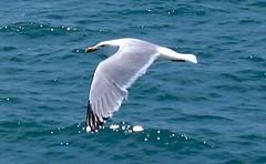 Seagull in Flight (Scandblue) Tags: ocean bird water fly flying inflight wings capecod seagull gull flight wing floating birdsinflight soaring picnik thewonderfulworldofbirds