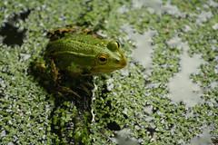 (SpUtNik 23 -RUR und MKZ) Tags: nature canon eos 350d belgium belgique frog grenouille brabantwallon ottignies boisdelauzelle