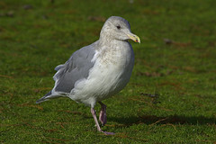 Gullable (swong95765) Tags: bird gull seagull grass interested closer enticed skittish