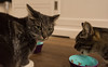 Mini & Maxi. (Alex-de-Haas) Tags: animals cityofedam edam nederland netherlands animal cat cats eating eten feeding feline felines food huisdier huisdieren kat katten pet pets poes poezen voer voerbakje