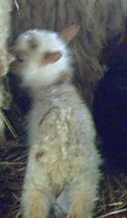 funky little lamb