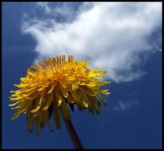 (andrewlee1967) Tags: naturesfinest dandelion sky cloud andrewlee1967 uk impressedbeauty abigfave goldenphotographer bravo andylee1967 focusman5 andrewlee england