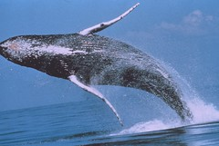 Humpback Whale Breaching by Official Photographer (NOAA)