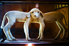 (Splat Worldwide) Tags: california railroad animal museum canon eos twins antique siamese taxidermy lamb bishop laws conjoined owensvalley 1635mmf28l