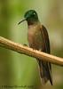Fawn-breasted Brilliant (Michael Woodruff) Tags: bird birds ecuador hummingbird birding cloudforest hummer brilliant subtropics tandayapa tandayapavalley fawnbreastedbrilliant heliodoxarubinoides fawnbreasted nwecuador heliodoxa