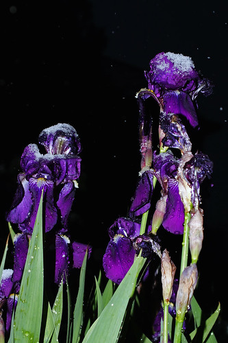 Snow Irises