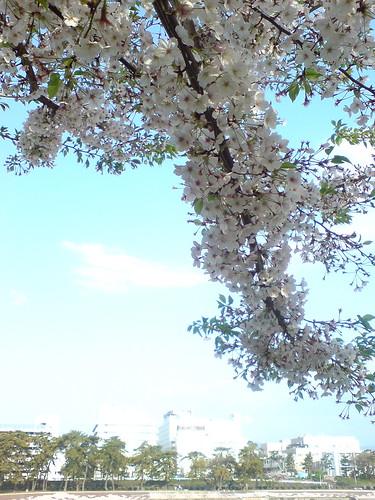 sakura down