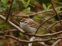 Chipping sparrow - by badjoby