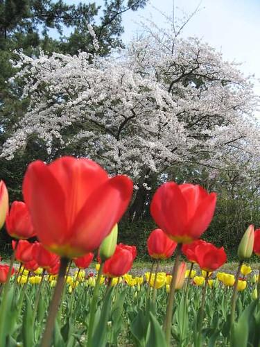 Tulip , Cherry blossoms1