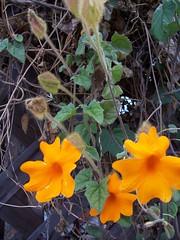 Orange burst - PaD 4/21/07 - Flowering Vine Picture