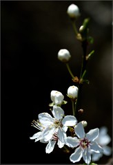 Open and closed pearls (Kirsten M Lentoft) Tags: white flower macro tree momse2600 kirstenmlentoft