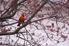 My First 400mm Bird Shot! - Red Cardinal (Island Capture (aka Silverph or psilver)) Tags: d50 nikon philippines nikond50 filipino tamron teleconverter pinoy 70200mm 2x 28g sarilingatin johnbriansilverio flickrdiamond