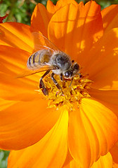 Orange Bee (A. Saleh) Tags: flowers lebanon macro nature searchthebest bee naturesfinest asaad asaadsaleh assaad abigfave anawesomeshot diamondclassphotographer
