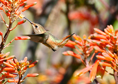 Ballet (Don Baird) Tags: orange spring hummingbird searchthebest beak hummer springbeauty naturesfinest avianexcellence diamondclassphotographer photosandcalendar